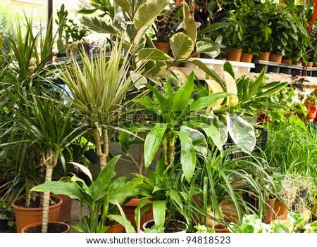 Ficus and decorative flowers - plants