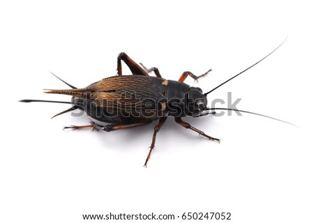 field cricket isolated on white background