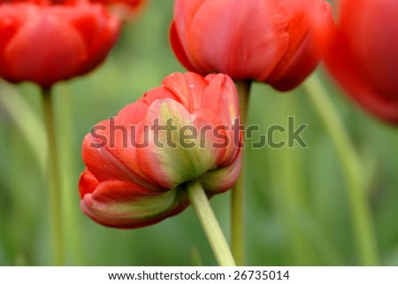 field of beautiful red tulips shot from low angle
