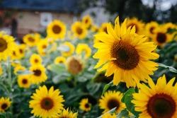 field of beautiful yellow sunflowers