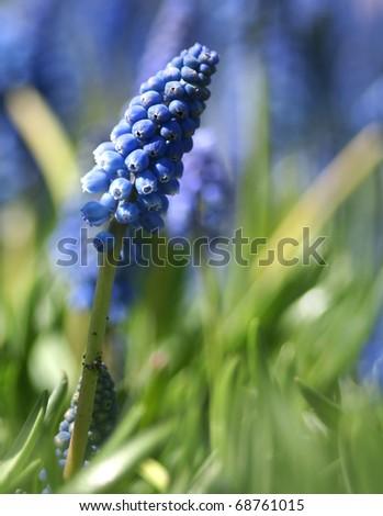 field of blue muscari flowers