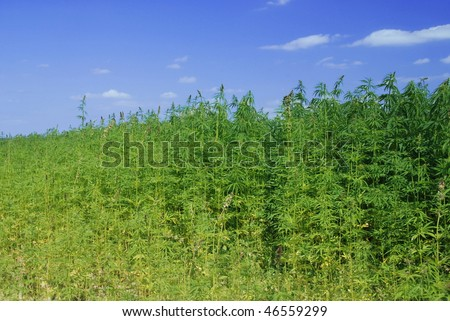 Field of hemp. Industrial kind of this plant is not a drug but a resource. It contains hardly any THC