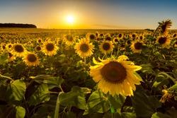 Field of sunflowers at sunset. Russian fields. Russian landscape. Ryazan region.