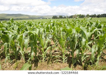 Field of young maize growing in the Underberg area of kwazulu natal, in the foothills of the Drakensberg. Maize, aka corn is a staple grain used both for human consumption and in animal feeds.