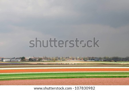 Fields of tulips and hyacinths in the Netherlands.
