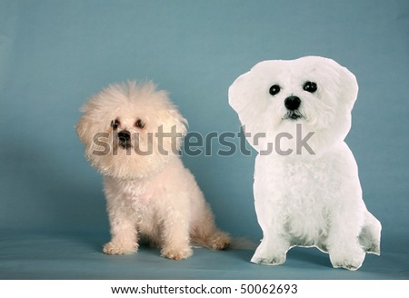 """Fifi the Bichon Frise"" sits next to a live size photo ""Cardbard Cut Out"" of herself on a blue background"