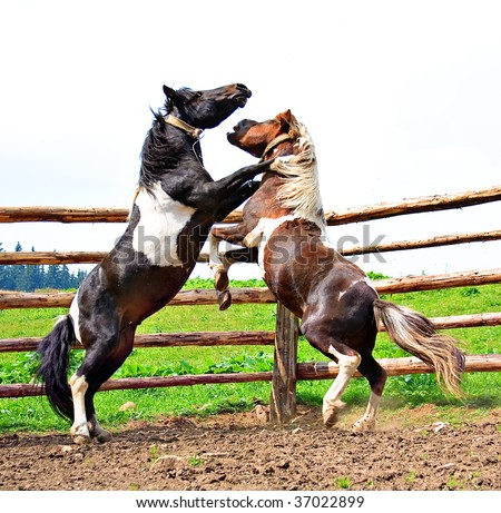 fight of horses