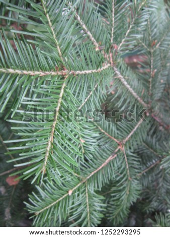 fir branches fir needles #1252293295
