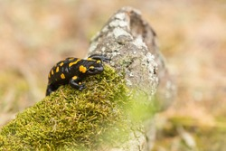 Fire Salamander, Salamandra salamandra, spotted amphibian on the green moss. Widlife scenery