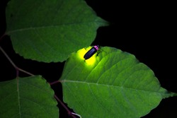 Fireflies are a summer feature of Japan.A  firefly is emitting light.