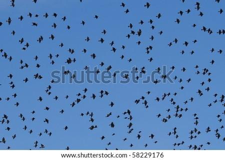 flock of birds Starling Sturnus vulgaris