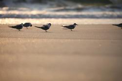 Flock of terns, Flock of birds, Terns, Tern, water bird, Seabird, Skimmer, meditation, Calm.