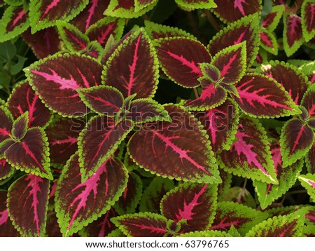 floral background of Coleus (Painted Nettle)