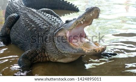 Florida Everglades Alligator wild gator