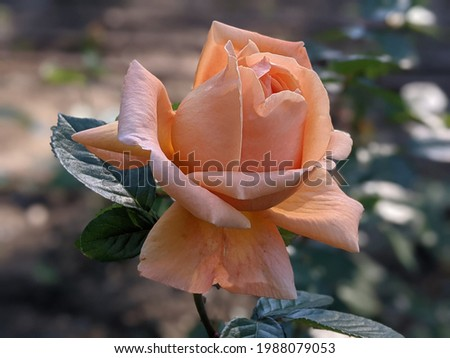 Flower of rose Capri Nostalgie with melon and salmon colored petals Photo stock ©