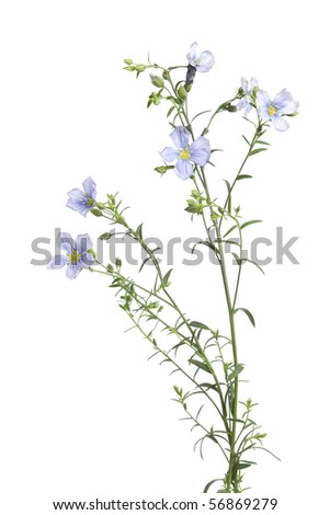 Flowering flax with buds isolated on white background