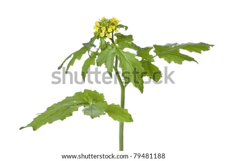 Flowering mustard plant on white background