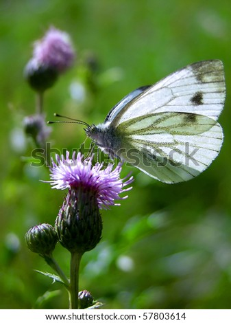 Flowering thistle with Small White butterfly