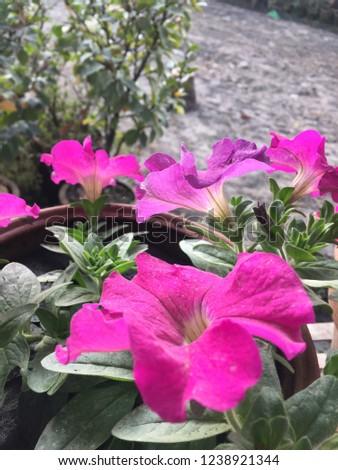 Flowers Annuals Plants.Kathmandu Nov 24/2018. #1238921344