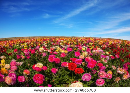 Flowers are grown for export in the Nordic countries. Spring flowering garden large buttercups - ranunculus