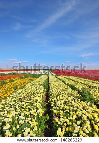 Flowers are grown for export. Israeli spring. Kibbutz fields with bright flowers Ranunculus.