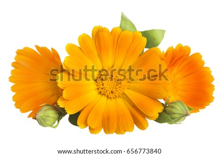 Flowers with leaves Calendula (Calendula officinalis, pot marigold, garden marigold, English marigold) on a white background with space for text.  Medicinal herb. Selective focus