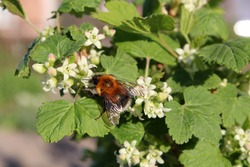 fluffy bumblebee on currant flowers. beautiful background of leaves and flowers