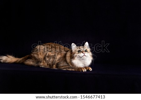Fluffy siberian cat on fluffy black background