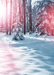 forest. Winter landscape. Snow covered trees.