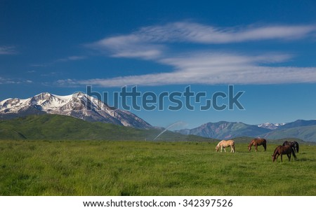 Four Quarter Horses Grazing in a High Mountain Meadow With Snow Covered Mt. Sopris and the Rocky Mountains #342397526