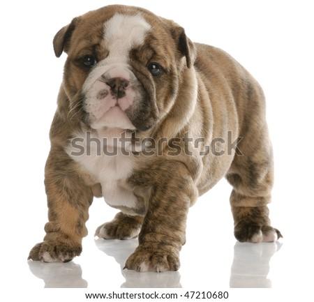 Beagle Black Lab Mix For Sale Micro Teacup French Bulldog Photo