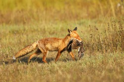 Fox on the summer meadow. Red Fox with prey, Vulpes vulpes, wildlife scene from Europe.