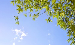 Frame of young green leaves against a blue sky. A small white cloud. Copy space.