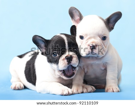 French bulldogs puppy