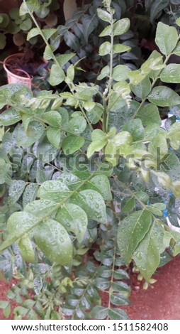 fresh green curry leaf plant