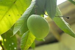 Fresh mango on the tree