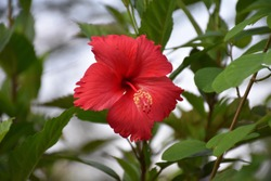 Fresh red hibiscus flowers on the tree.