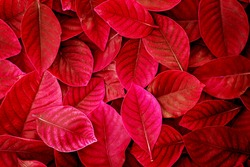 Fresh tropical red  leaves background