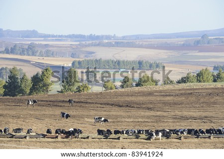fresian dairy cattle (holsteins) in a feedlot on a dairy farm, underberg, kwazulu natal, south africa