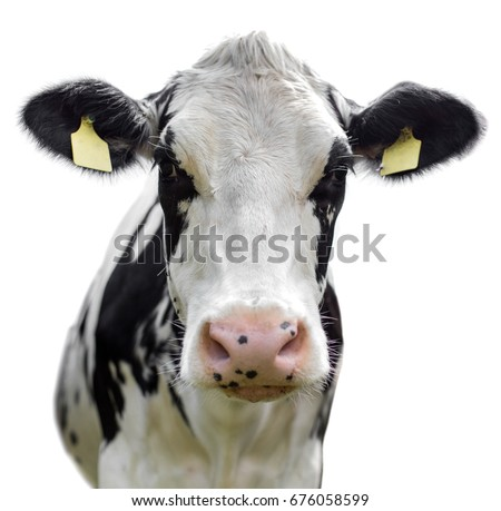 Friesian Cow on white background #676058599