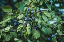 Fruitful plum tree in the street. Plum tree branches with dense foliage & small plums.