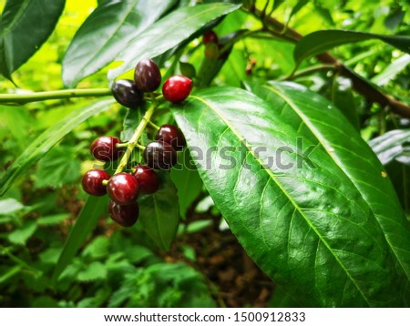Fruits and leathery leaves of evergreen Cherry laurel or Prunus laurocerasus ( Family:	Rosaceae)