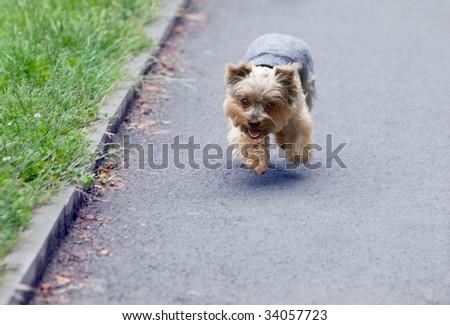 Funny dog fun runs on asphalt
