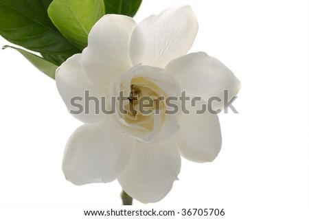 gardenia flower with green leaf