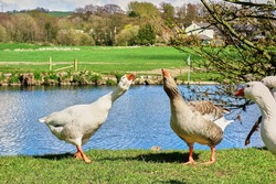 2 geese hiss at each other whilst others watch on in amusement on a sunny day in an idyllic rural location