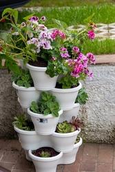 geranium - muscat - cascading flowerpot