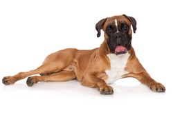 german boxer dog lying down