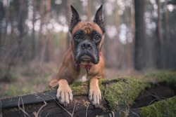 German boxer in the woods on an old log portrait of a german boxer