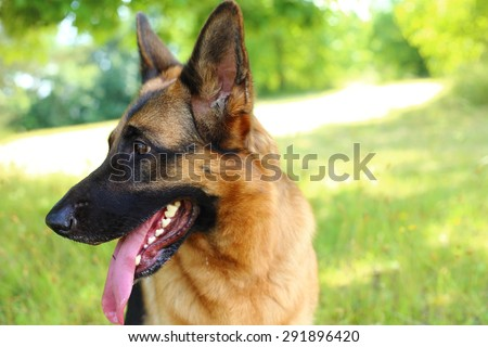 German Shepherd, German Shepherd, German Shepherd on the grass, dog in the park, dog\'s portrait