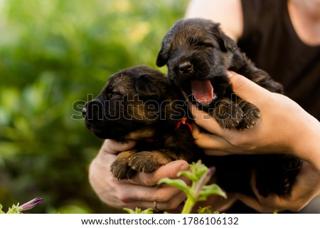 german shepherd puppies on a sunny day Photo stock ©